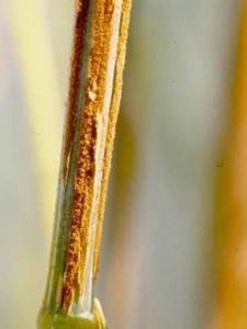 Ржавчина пшеницы стеблевая или линейная