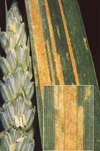 Ржавчина пшеницы желтая
