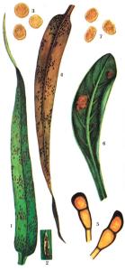 Puccinia recondita f. secalis Rob. et Desm.