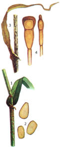 Puccinia graminis Pers. f. sp. secalis Eriks. et Henn.