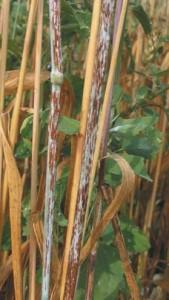 Ржавчина ячменя стеблевая или линейная