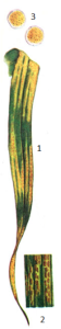 Puccinia striiformis West.