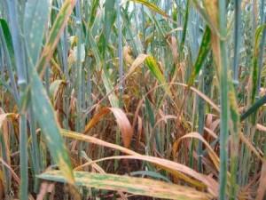 Септориоз пшеницы