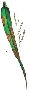 Septoria secalis Prill. et Del.