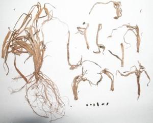 Whetzelinia borealis М. Chochr