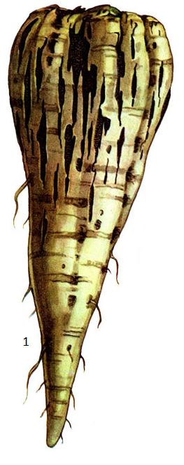 Sclerotium bataticola Taub.