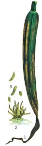 Scolecotrichum graminis Fckl.