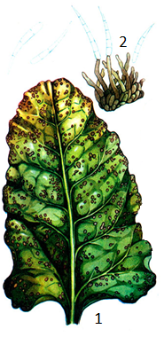 Cercospora beticola Sacc.