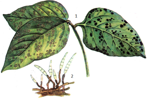 Cercospora sojina Hara