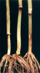 Темно-бурая пятнистость или обыкновенная корневая гниль