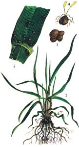 Typhula graminum Karst.