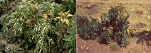 Увядание картофеля фузариозное