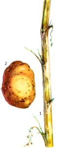 Verticillium albo-atrum Reinke et Berth.