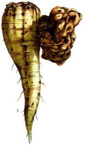 Agrobacteriuin tumefaciens Cohn.