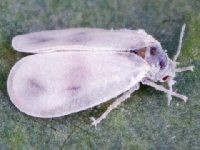 Aleyrodes proletella