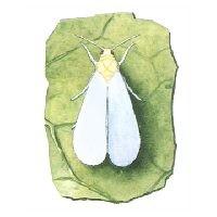 Glasshouse whitefly