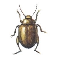 Potato flea beetle